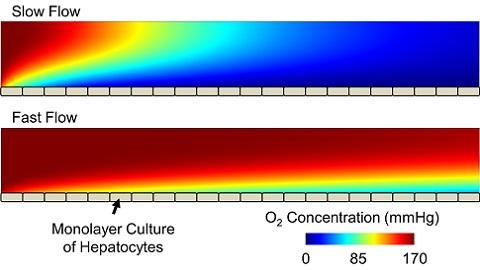 Oxygen concentration in a microchannel bioreactor for different flow rates.