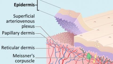 Transdermal Permeation Enhancer Skin Cross-section